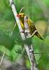 YellowWarbler-LAWD-9-23-18-SJS-001