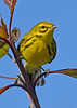 PrairieWarbler-OaklandNaturePreserve-1-25-20-SJS-001