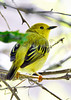 YellowWarbler-MM-5-15-17-SJS-004