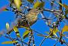 PineWarbler-SawgrassPreserveFL-11-17-18-SJS-002