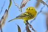 PrairieWarbler-TroutLake-9-27-18-SJS-007