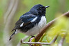 BlackThroatedBlueWarbler-MageeMarsh-5-12-19-SJS-003