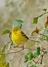 PineWarbler-LakeYale-2-22-17-SJS-005