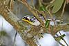 Yellow-ThroatedWarbler-HarryLeuGardens-9-5-18-SJS-001