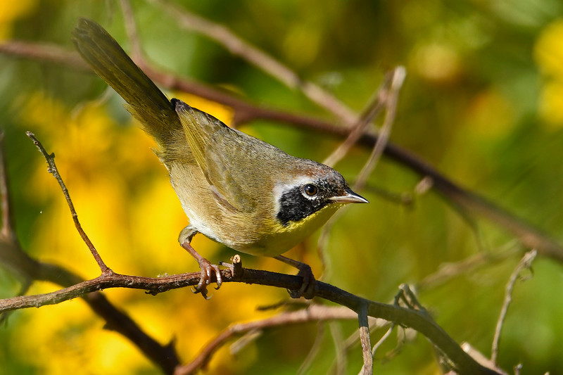 CommonYellow-Throat-LAWD-12-7-2018-SJS-003