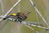 YellowRumpedWarbler-LAWD-Fl-3-17-17-SJS-008