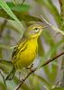 PrairieWarbler-EmeraldaMarsh-10-6-20-sjs-04