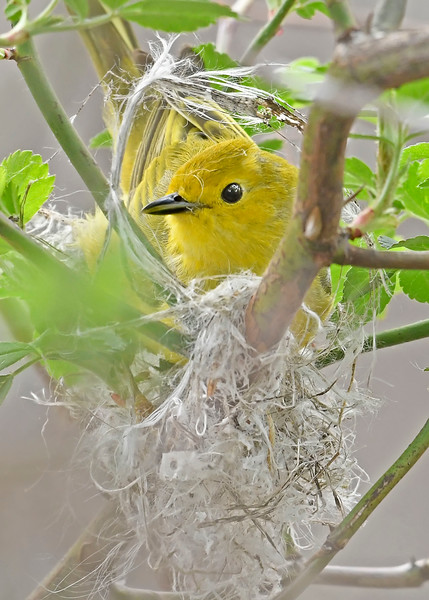 YellowWarbler-MageeMarsh-5-6-18-SJS-004