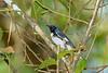 BlackThroatedBlueWarbler(m)-SawgrassPreserve-5-2-20-SJS-01