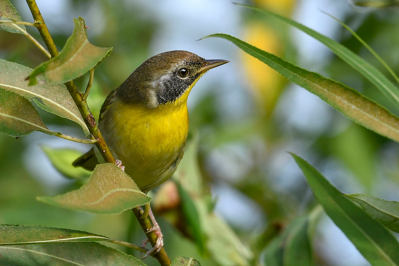 CommonYellowThroat-EmeraldaMarsh-10-10-19-SJS-014