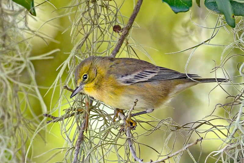 PineWarbler-EmeraldaMarsh-11-1-19-SJS-002
