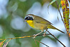 CommonYellowThroat-EmeraldaMarsh-10-10-19-SJS-005