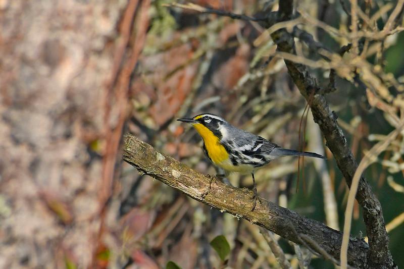 YellowThroatedWarbler-OcalaNF-9-24-19-SJS-003