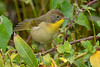 CommonYellowThroat-LAWD-11-8-19-SJS-001