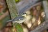 BlackThroatedBlueWarbler(f)-SawgrassPreserve-5-2-20-SJS-02