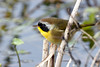 CommonYellowThroat(M)-LAWD-FL-1-5-18-SJS-003