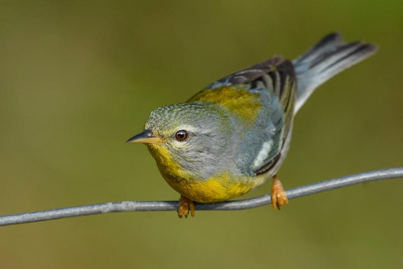 NorthernParula(male)-SawgrassIsland-5-13-20-SJS-02