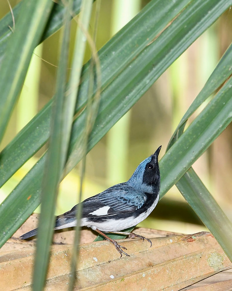 BlackThroatedBlueWarbler(m)-SawgrassPreserve-5-2-20-SJS-06