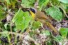 CommonYellowThroat-LAWD-11-8-19-SJS-005
