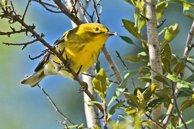 PineWarbler-OcalaNationalForest-12-5-18-SJS-011