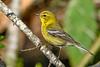PineWarbler-OcalaNF--4-28-20-SJS-001