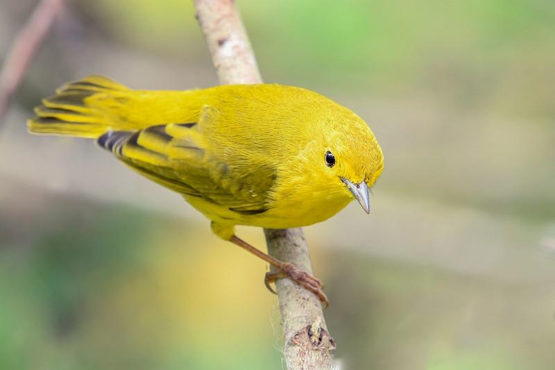 YellowWarbler-LAWD-9-21-19-SJS-002