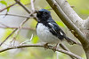 BlackThroatedBlueWarbler-MageeMarsh-5-12-19-SJS-006