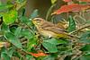 PalmWarbler-LakeYaleEstates-2-28-17-SJS-004