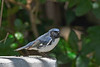 BlackThroatedBlueWarbler-FortDeSoto-4-22-19-SJS-001