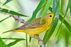 YellowWarbler-LAWD-3-1-19-SJS-006