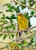 PineWarbler-LakeYaleEstates-2-27-17-SJS-002