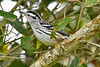 Black&WhiteWarbler-PineMeadowsCA--2-28-19-SJS-002