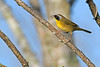 CommomYellowThroat-LAWD-9-7-18-SJS-002