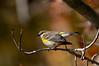 YellowRumpedWarblerHamptonVA-2014-sjs-003
