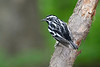 Black&WhiteWarbler-SenecaRocks-5-11-19-SJS-001