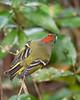RubyCrownedKinglet(male)-OaklandNP-12-4-20-sjs-008