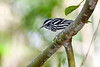 Black&WhiteWarbler-MeadGardens-4-21-20-SJS-001