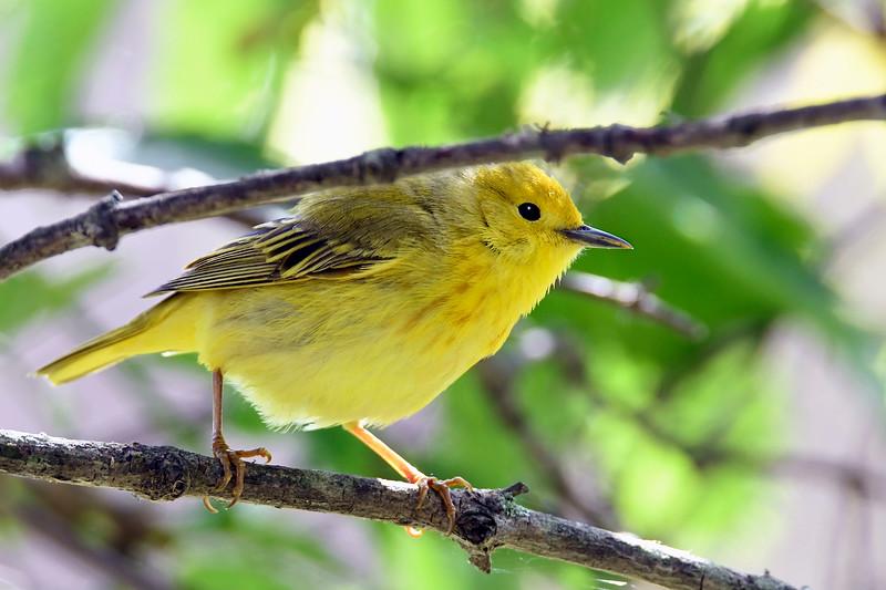 YellowWarbler-MM-5-15-17-SJS-003