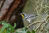 YellowThroatedWarbler-LYE-10-19-19-SJS-005