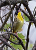 CommonYellow-throat-MM-5-17-17-SJS-001