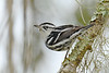 Black&WhiteWarbler-LakeYale-2-22-17-SJS-002