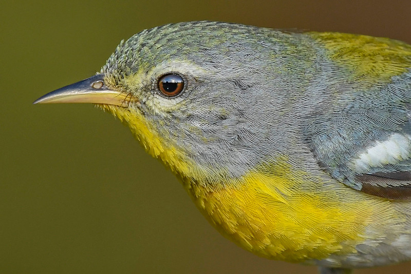 NorthernParula(male)-SawgrassIsland-5-13-20-SJS-05