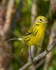 PrairieWarbler(male)-OcalaNF-8-2-20-sjs-002