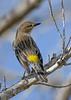 YellowRumpedWarbler-MerrittIslandNWR-12-29-20-sjs-002