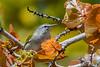 TennesseeWarbler-FortDeSoto-4-20-19-SJS-004