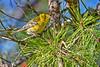 PineWarbler-OcalaNationalForest-12-5-18-SJS-005