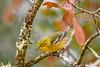 PineWarbler-OcalaNF-12-16-20-sjs-006