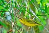 YellowWarbler-LAWD-3-1-19-SJS-003