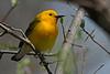 ProthonotaryWarbler-MageeMarshOH-5-7-18-SJS-001
