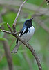 BlackThroatedBlueWarbler-MageeMarsh-5-9-18-SJS-002
